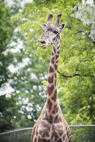 Close up of a giraffe with its mouth open. photo