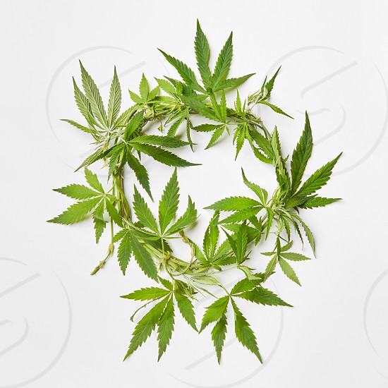 Branch of fresh natural green marijuana leaves in the shape of round wreath on a light grey background with copy space. Concept use of cannabis for medical puposes. photo