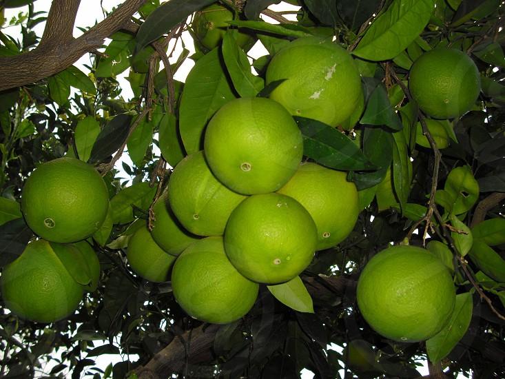 green round fruit photo