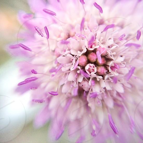 Macro a lilac pincushion flower scabiosa photo