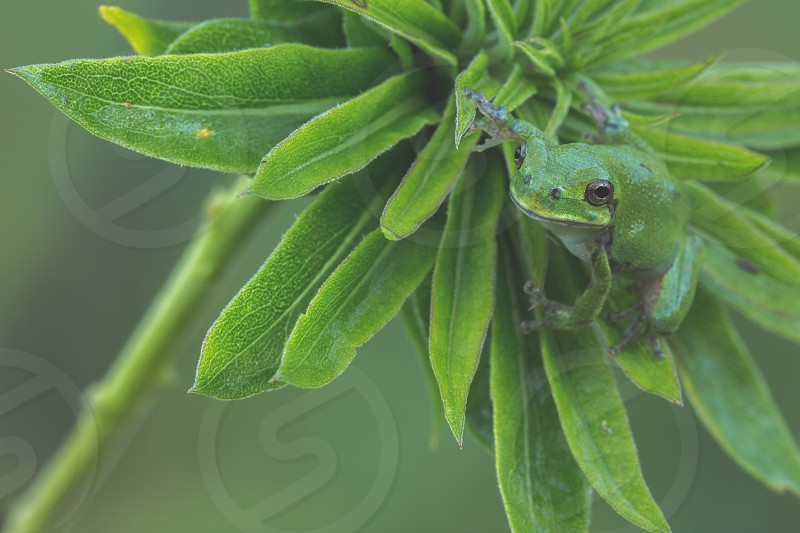 Little green tree frog on plant photo
