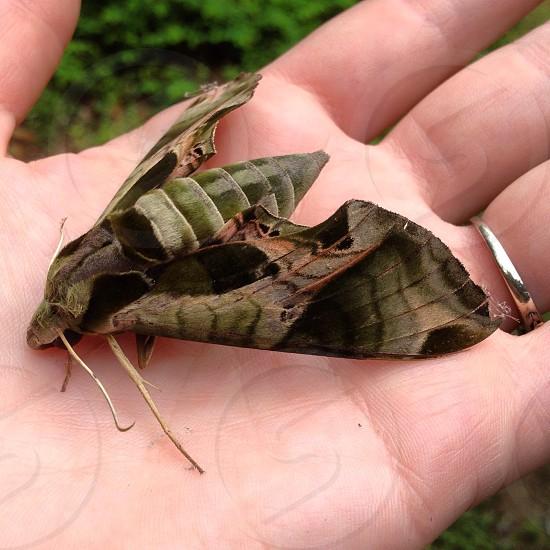Pandora Sphinx moth photo