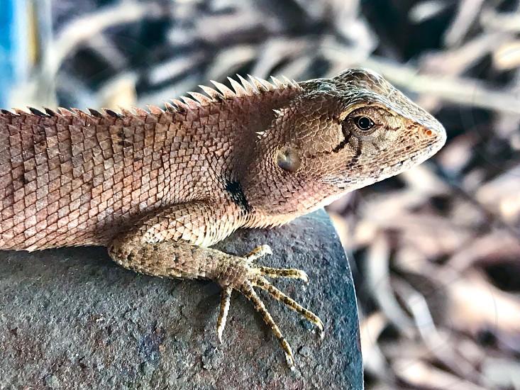 Thai chameleon photo