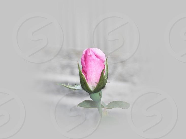 purple tulip flower photo photo