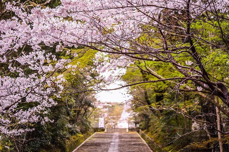 KyotoJapancherrytempleethnicSpringcherry blossomcherry blossomsbotanicalflowernaturestairstreescolorfultravelcity photo