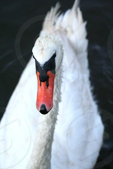 Swan white water beak photo
