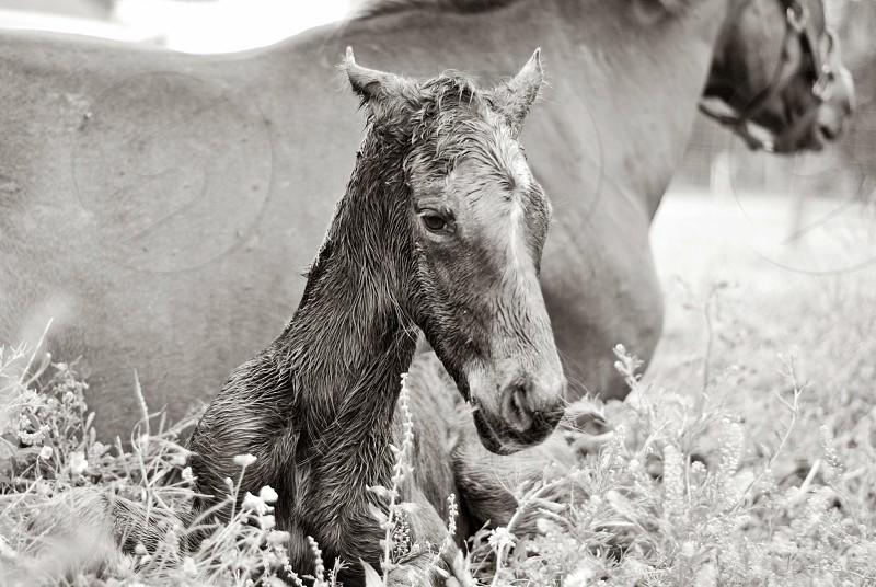 Newborn baby horse spring Louisiana fresh photo