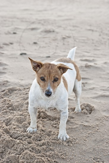 Jack Russell terrier stands on beach. small dog photo
