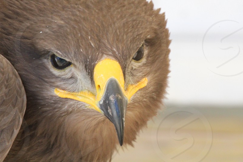 gray eagle photo