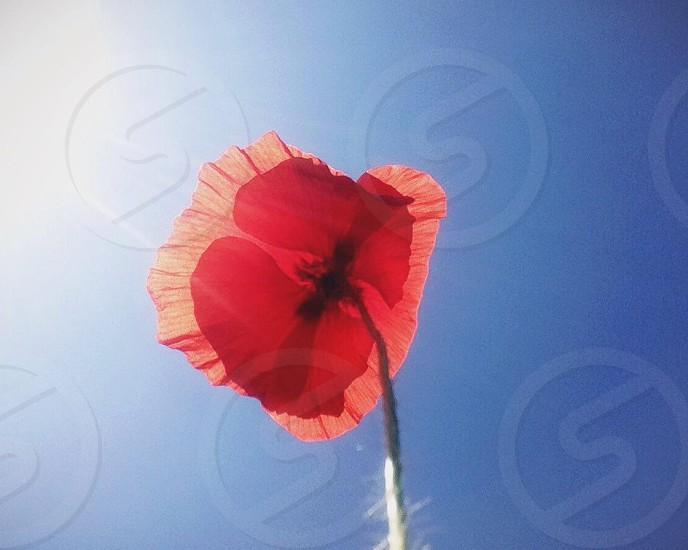 Coquelicot - Poppy photo