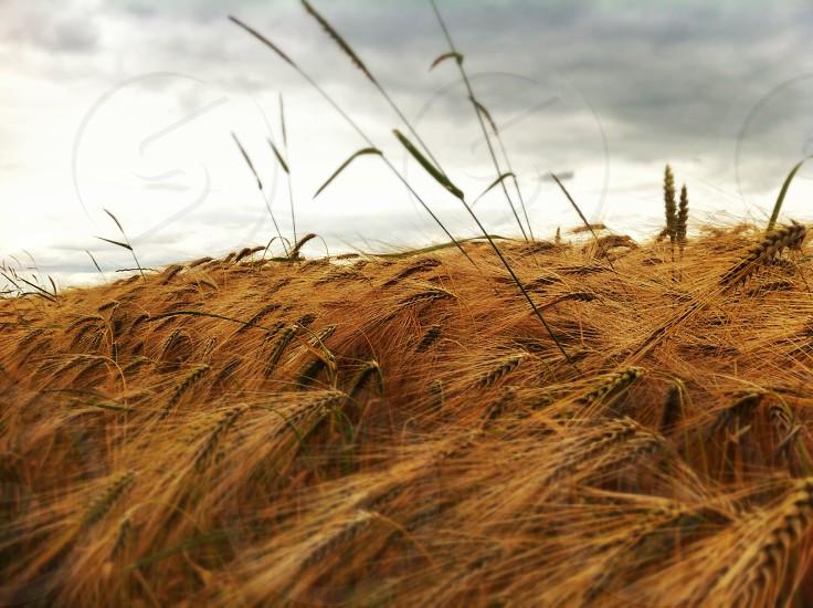 wheat field under gray cloudy sky photo