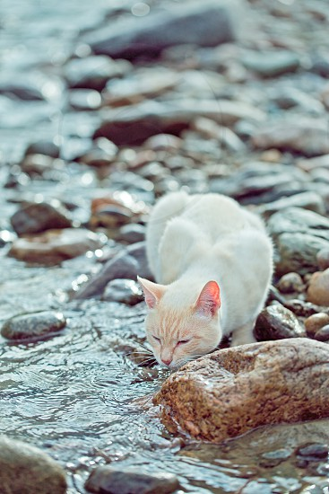 domastic cat drinking from the river on the shore photo