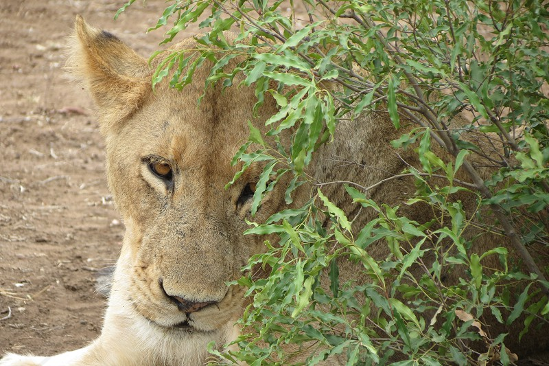 Shy young Lion photo