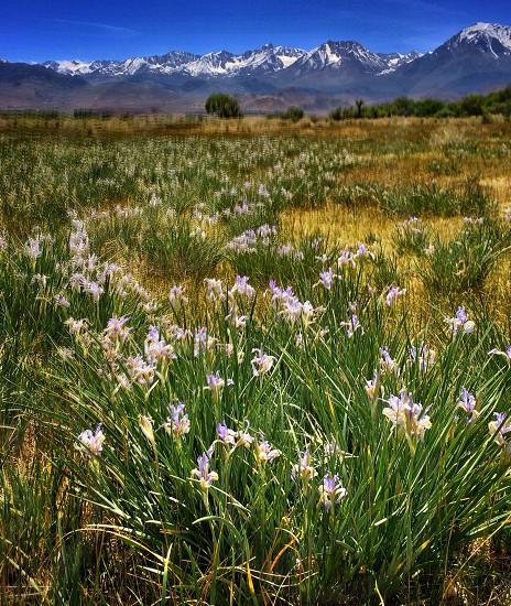 Bishop ca iris field with my tom photo