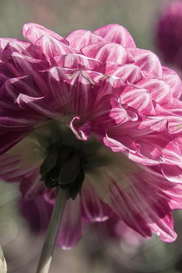pink flower daylight dahlia macro photo