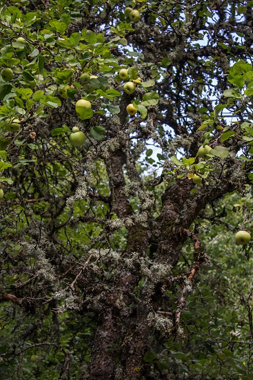 A green apples tree. photo