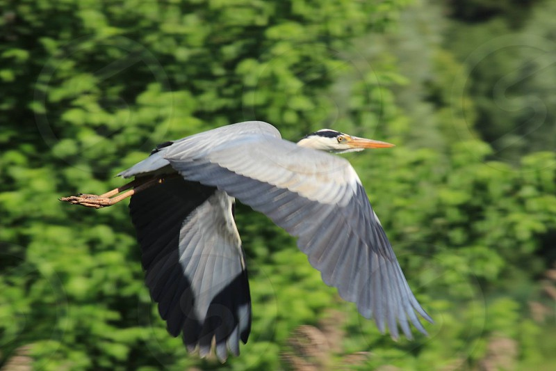 flying heron photo