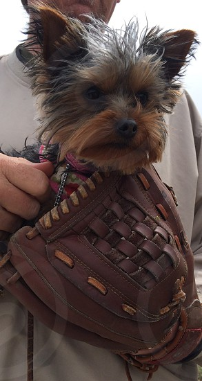 MINIATURE YORKIE IN BASEBALL GLOVE photo