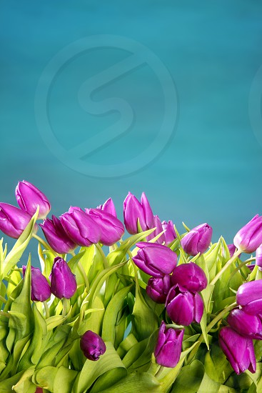 tulips pink flowers on a blue green studio classic background photo