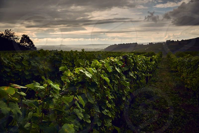 vine yards in Jura France under a cloudy sky photo