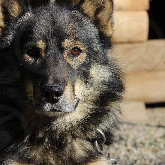 Husky Dog animal photo