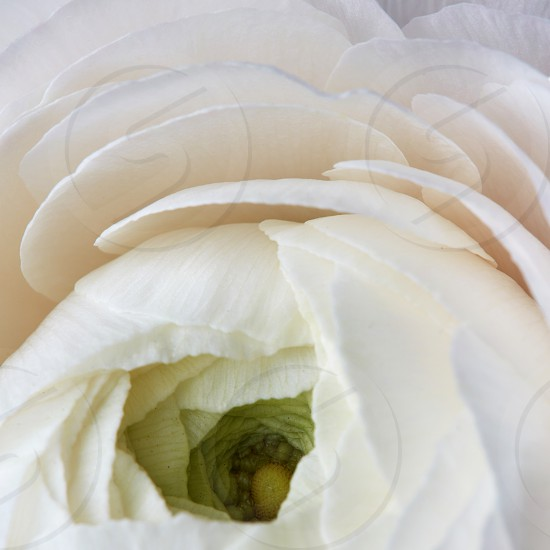 floral background close-up of a white ranunculus. Valentine's Day wedding greeting card photo