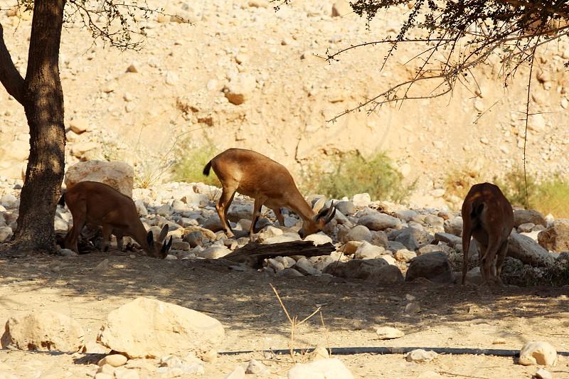 Nubian ibex in Ein Gedi (Nahal Arugot) at the Dead Sea Israel. photo