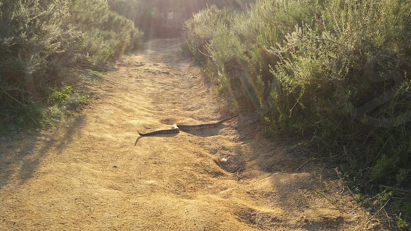 Rattlesnake photo