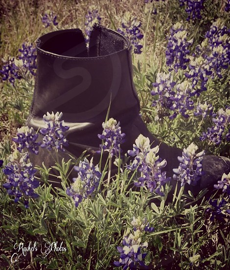Bluebonnets photo