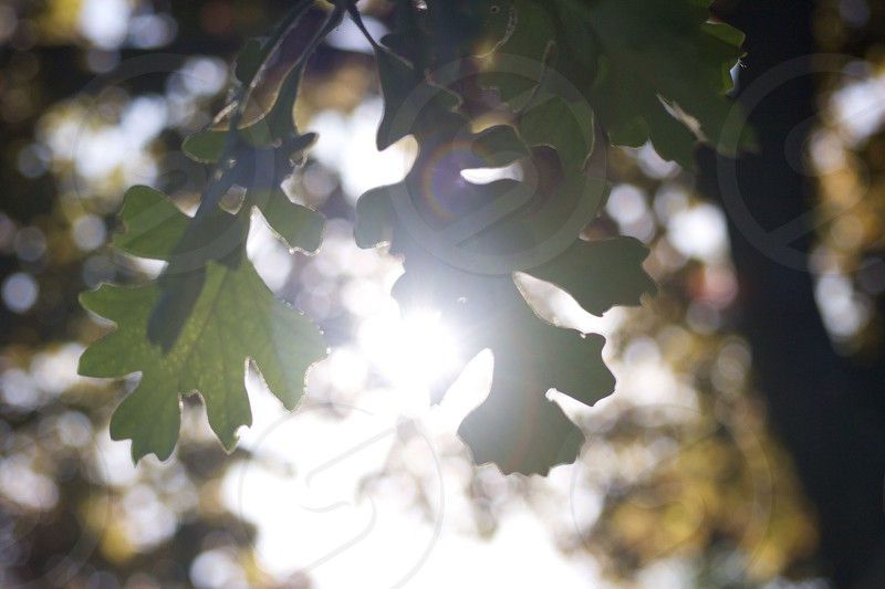 Sun through leaves.  photo