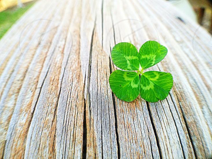 green 4 leaf clover shamrock on woodgrain photo