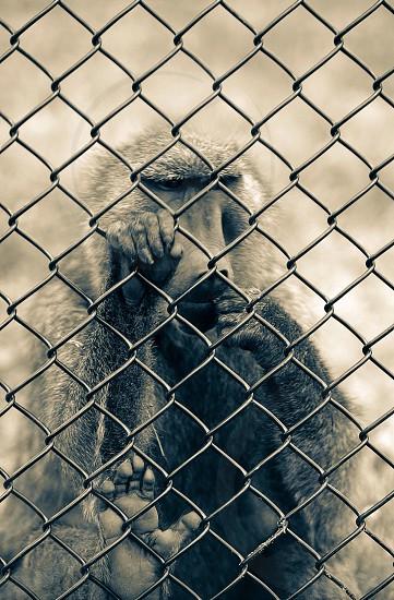 A baboon photo