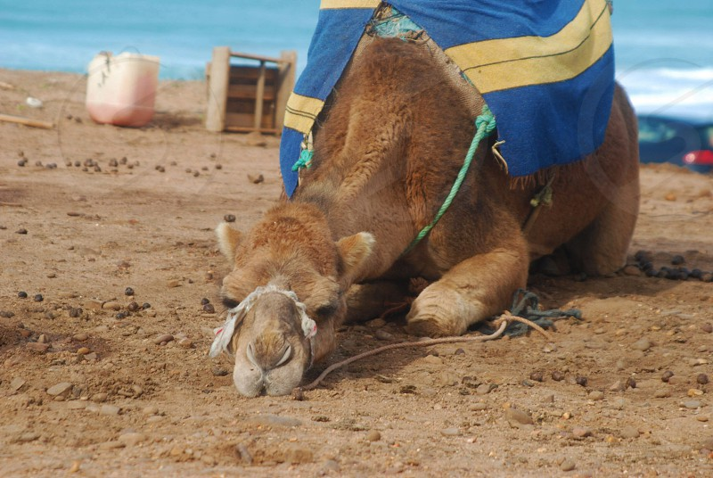 Camel relaxing  Sahara   photo