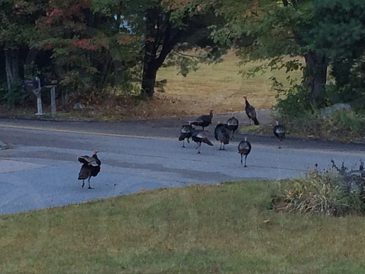 Turkey's in my yard photo