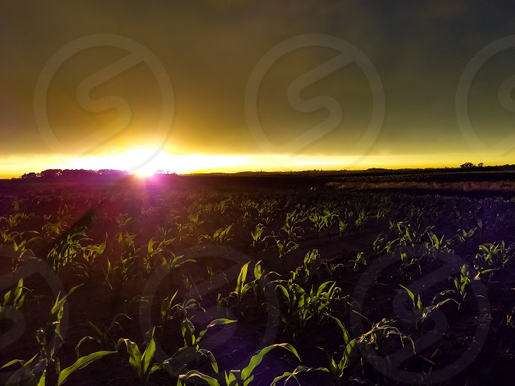 Cornfield Sunset photo