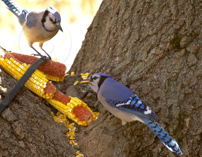 Beautiful blue jays enjoying the sun on a cold day eating corn. photo