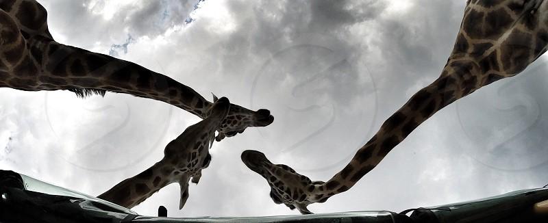 Giraffe banter photo