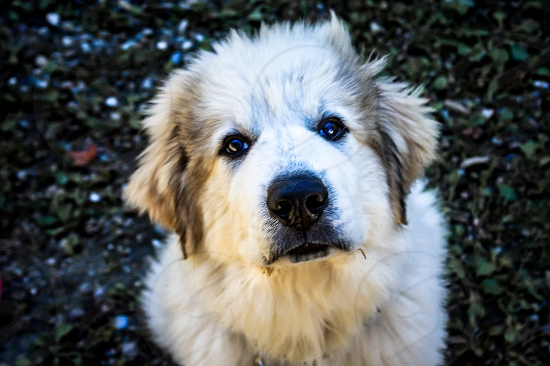 Great Pyrenees dog puppy protector white eyes beauty purebred  photo