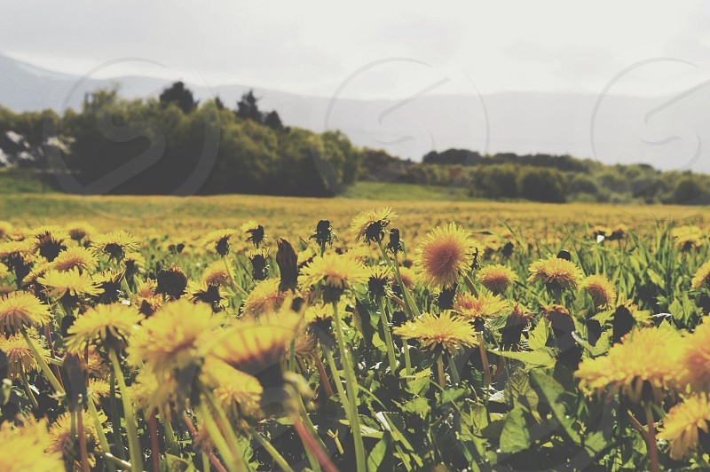 Daffodil fields Norway  photo