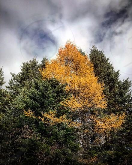 Pines and Tamaracks photo