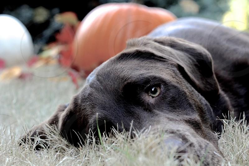 Labrador chocolate lab retriever akc puppy Labrador retriever purebred. photo