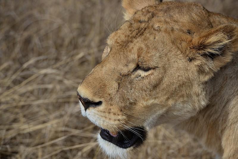 Lioness walking through the Ngorongoro Crater of Tanzania. photo