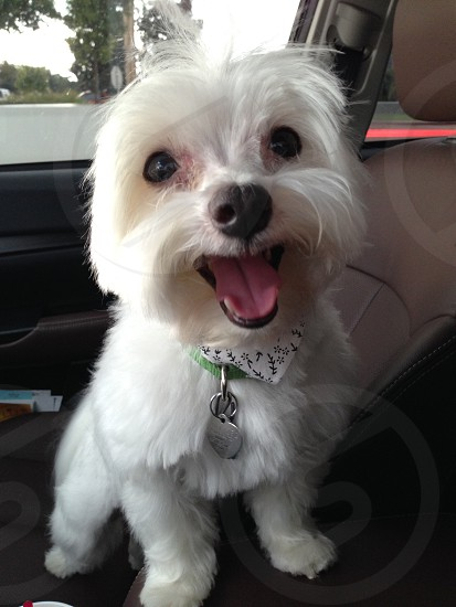 Happy Maltese photo
