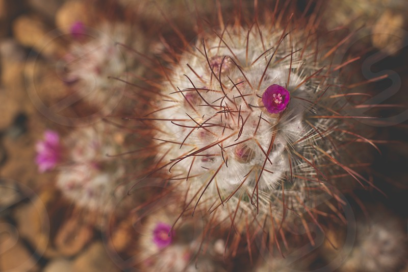 A hot pink bloom on a cactus photo