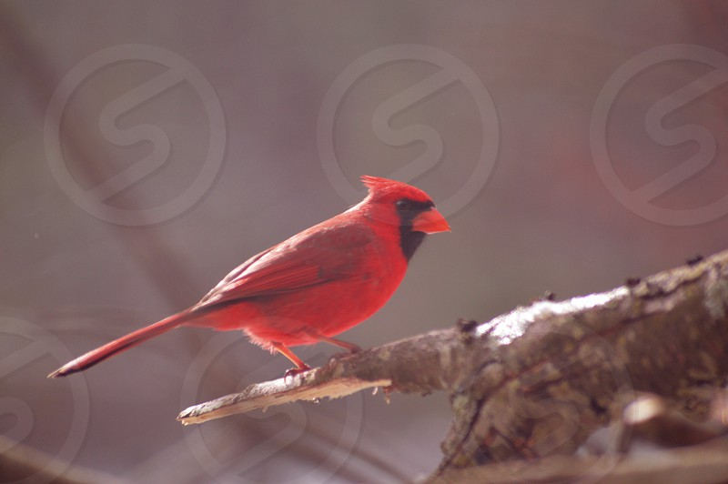 red cardinal bird resting on tree branch photo