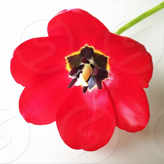 Spring spring colors red tulip flowers bouquet Beauty photo