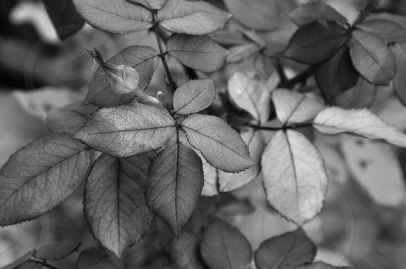 Black and white rose leaves and bud photo