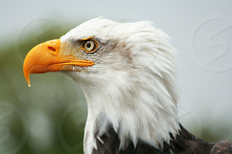 bald eagle bird photo