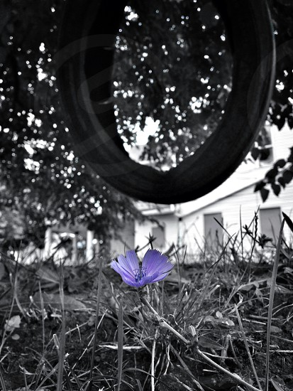 blue flower photo