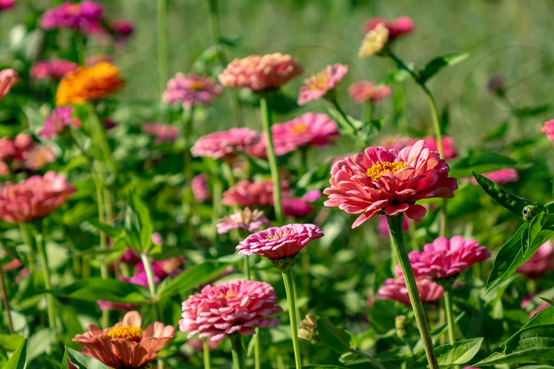 Blooming flower bed with flowers of zinia in a rural garden. Natural summer background photo